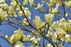 Magnolia gialla dell'uccello Fotografie Stock