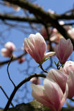 Magnolia giapponese Immagine Stock