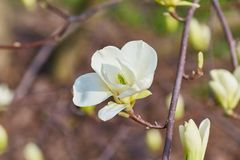 Magnolia grande blanca Imagenes de archivo