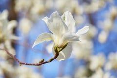 Magnolia grande blanca Imagen de archivo