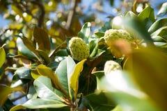 magnolia grandiflora Imágenes de archivo libres de regalías