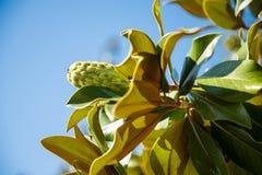 magnolia grandiflora Fotos de archivo libres de regalías