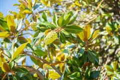 magnolia grandiflora Fotografía de archivo libre de regalías