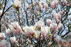 Magnolia grandiflora Stock Photos