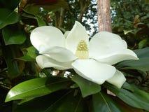 Magnolia Grandiflora Fotografia Stock