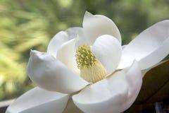 magnolia grandiflora Imagem de Stock Royalty Free