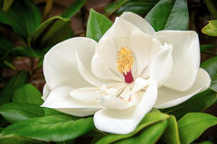 magnolia grandiflora Obraz Royalty Free