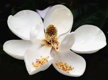 magnolia grandiflora imagens de stock