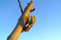 Magnolia grandiflora  bud Royalty Free Stock Images