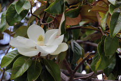 Magnolia grandiflora royalty free stock photography