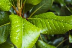 Magnolia Grandiflora Stock Image