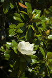 Magnolia grandiflora white flower Royalty Free Stock Photography