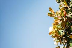Magnolia groot-gebloeide bloei in de zomer De ruimte van het exemplaar royalty-vrije stock afbeeldingen