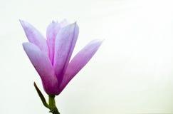 Magnolia Heaven Scent. Stunning magnolia flower (variety'soulangeana stock photography