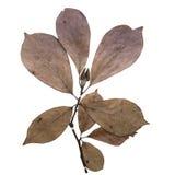 Magnolia herbarium Stock Image