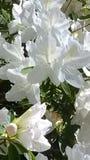 Magnolia hermosa fotos de archivo
