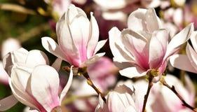 Magnolia hermosa de Alexandrina Foto de archivo