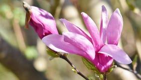 Magnolia hermosa de Alexandrina Fotos de archivo