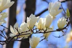 Magnolia i blom Royaltyfria Bilder