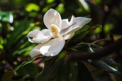 Magnolia i Sochi Royaltyfri Bild