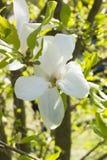 Magnolia imperecedera grandiflora, magnolia meridional, bahía de Bull Foto de archivo libre de regalías