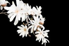 Magnolia  isolated. White Magnolia on the black background  isolated Stock Images