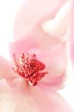 Magnolia Jane Blossom Stock Photos