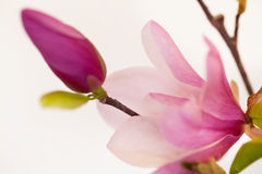 Magnolia Jane Blossoms Royalty Free Stock Photo