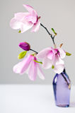 Magnolia Jane flower royalty free stock images