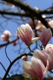 Magnolia japonaise Image stock