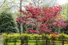 Magnolia japonesa sobre vid floreciente Fotografía de archivo