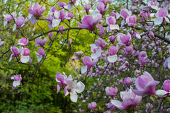 Magnolia in Kiev botanical garden Stock Photos