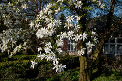 Magnolia kobus. Blooming tree with white flowers stock images