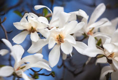Magnolia kobus. Blooming tree with white flowers stock image