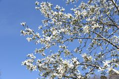 Magnolia kobus blossoms. And blue sky match and enjoy feeling of spring stock photography