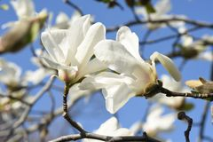 Magnolia kobus blossoms. And blue sky match and enjoy feeling of spring royalty free stock photography