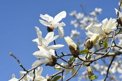 Magnolia kobus blossoms. And blue sky match and enjoy feeling of spring royalty free stock image