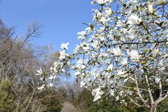 Magnolia kobus blossoms. And blue sky match and enjoy feeling of spring royalty free stock photos