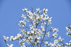 Magnolia kobus blossoms. And blue sky match and enjoy feeling of spring stock images