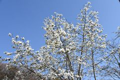 Magnolia kobus blossoms. And blue sky match and enjoy feeling of spring stock photos