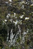 Magnolia kobus blossoms. In full bloom stock photography