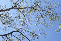 Magnolia kobus blossoms. In full bloom royalty free stock image