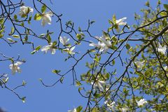 Magnolia kobus blossoms. In full bloom stock image