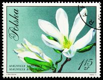 Magnolia kobus, Blossoms In Natural Colors serie, circa 1971. MOSCOW, RUSSIA - MAY 25, 2019: Postage stamp printed in Poland shows Magnolia kobus, Blossoms In stock images