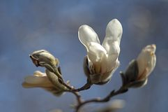Magnolia kobus flower and buds against a blurred background. Magnolia kobus in flower, with a singular blossom and several buds in the foreground against a royalty free stock photography