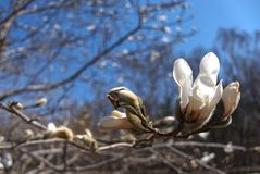 Magnolia kobus in flower against blue sky. Magnolia kobus in flower, with a singular blossom and several buds in the foreground and a blurred magnolia tree in stock photos