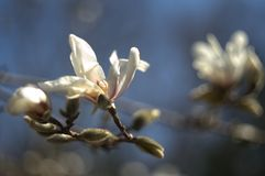 Magnolia kobus in flower, with a singular blossom and several buds. In the foreground against a blurred background royalty free stock photos