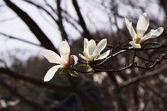 Magnolia kobus royalty free stock photography