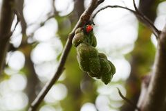 Magnolia kobus stock photography