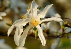 Magnolia kobus. Image of blooming tree with white flowers - botanic garden in Lodz royalty free stock photos